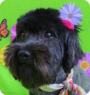 Schnauzer (Miniature)/Poodle (Miniature) Mix Dog for adoption in Irvine, California - Eileen