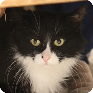 Domestic Longhair Cat for adoption in Naperville, Illinois - Kitty Soft Paws