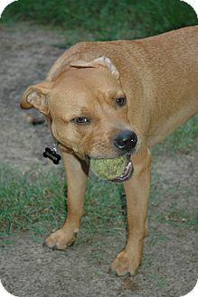 Labrador Retriever/Rhodesian Ridgeback Mix Dog for adoption in Waterbury, Connecticut - Bruce