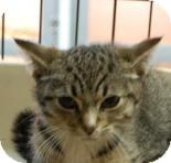 Domestic Shorthair Kitten for adoption in Brooklyn, New York - Taco