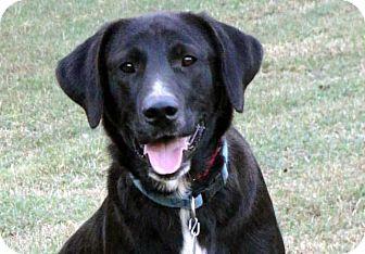 Labrador Retriever Mix Dog for adoption in Salem, New Hampshire - SAM