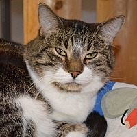 Domestic Shorthair Cat for adoption in House Springs, Missouri - Bell