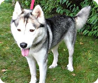 Husky Mix Dog for adoption in Mt. Pleasant, Michigan - Reese
