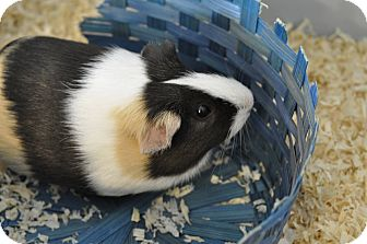 Guinea Pig for adoption in Hanna City, Illinois - Checkers