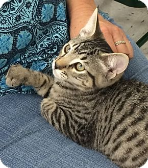 Domestic Shorthair Kitten for adoption in North Highlands, California - RootBeer