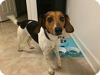 Beagle Dog for adoption in Columbia, Tennessee - Maggie