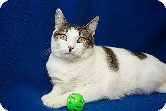 Domestic Shorthair Cat for adoption in Coronado, California - Chanel