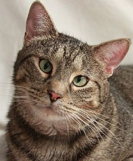Domestic Shorthair Cat for adoption in Savannah, Missouri - Mack