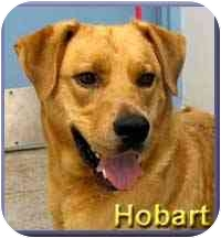 Labrador Retriever Mix Dog for adoption in Aldie, Virginia - Hobart
