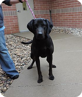 Labrador Retriever Mix Dog for adoption in Sioux City, Iowa - BOLT