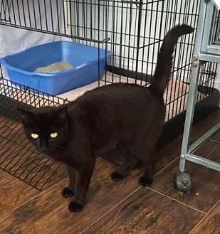 Domestic Shorthair Cat for adoption in Trexlertown, Pennsylvania - Emma