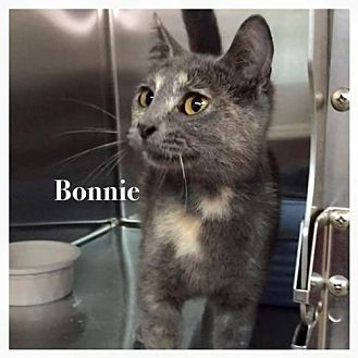 Domestic Shorthair Cat for adoption in DFW Metroplex, Texas - Bonnie