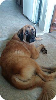 Leonberger/St. Bernard Mix Dog for adoption in Cincinnati, Ohio - Sheba