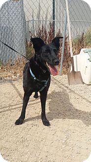 Labrador Retriever/Border Collie Mix Dog for adoption in Meridian, Idaho - Kahlia