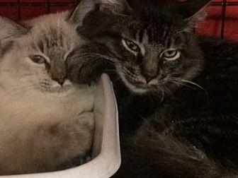 Siamese Cat for adoption in Chino, California - Delilah