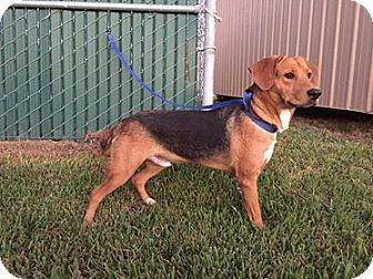 Beagle/Labrador Retriever Mix Dog for adoption in Beaumont, Texas - Hugo