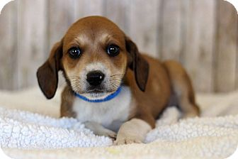 Beagle Mix Puppy for adoption in Waldorf, Maryland - Blaine