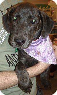 Hound (Unknown Type)/Labrador Retriever Mix Puppy for adoption in Melrose, Florida - Noah