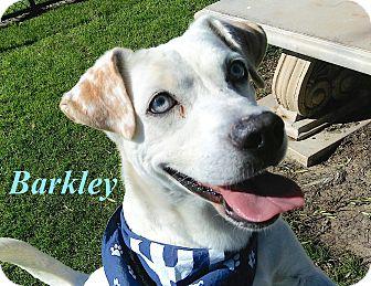 Cattle Dog/Corgi Mix Dog for adoption in El Cajon, California - Barkley