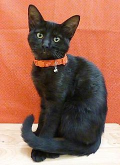 Domestic Shorthair Cat for adoption in League City, Texas - Parker