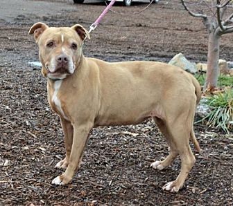 Pit Bull Terrier Mix Dog for adoption in Yreka, California - Angie