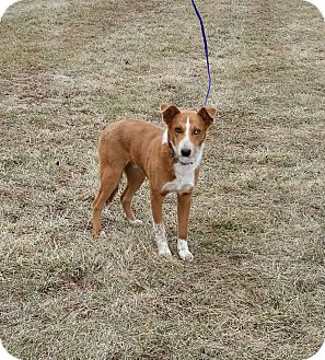Collie Mix Dog for adoption in Cameron, Missouri - Darwin
