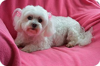 Maltese Dog for adoption in Westport, Connecticut - Candy