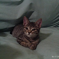 Adopt A Pet :: Harrison - Houston, TX