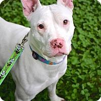 Adopt A Pet :: Sage - Reisterstown, MD