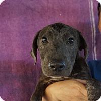 Adopt A Pet :: Blue - Oviedo, FL