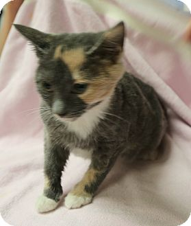 Manx Kitten for adoption in Spring Valley, New York - Clementine