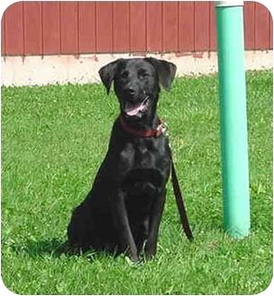 Labrador Retriever Dog for adoption in Austin, Minnesota - Ezra
