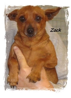 Miniature Pinscher Dog for adoption in Irvington, Kentucky - Zack