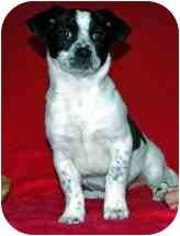 Spaniel (Unknown Type)/Terrier (Unknown Type, Medium) Mix Puppy for adoption in Broomfield, Colorado - Huggie