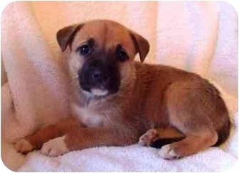 Rhodesian Ridgeback/Shepherd (Unknown Type) Mix Puppy for adoption in Stockton, Missouri - Arizona and 1 sibling