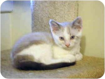 Siamese Kitten for adoption in Quail Valley, California - Simba