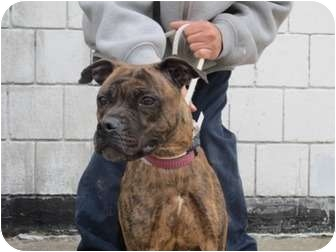 Boxer/American Pit Bull Terrier Mix Dog for adoption in Long Beach, New York - Molly