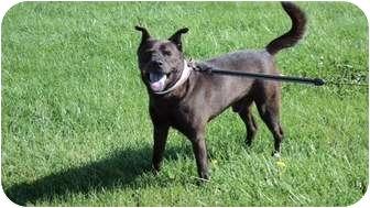 Chow Chow/Labrador Retriever Mix Dog for adoption in Warren, Michigan - Chow mix-URGENT-FOSTER NEEDED!