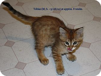 Domestic Shorthair Kitten for adoption in Union, Kentucky - Tobias