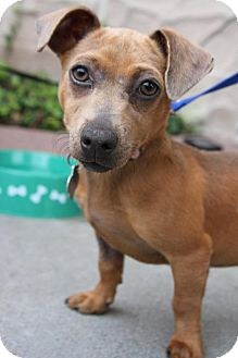 Chihuahua/Dachshund Mix Puppy for adoption in Alpharetta, Georgia - Makena