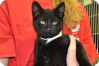 Domestic Shorthair Kitten for adoption in Elyria, Ohio - Sam