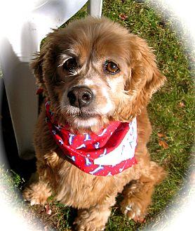 Cocker Spaniel Dog for adoption in El Cajon, California - Romeo