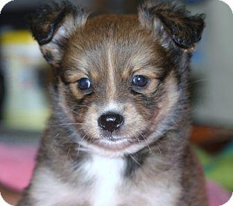 Pomeranian/Australian Shepherd Mix Puppy for adoption in Santa Ana, California - Maura