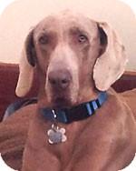 Weimaraner Dog for adoption in St. Louis, Missouri - Marcus
