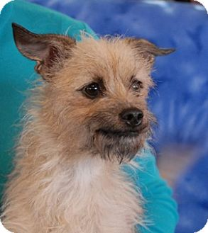 Terrier (Unknown Type, Small) Mix Dog for adoption in Las Vegas, Nevada - Autumn Rose