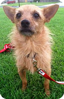 Terrier (Unknown Type, Small)/Miniature Pinscher Mix Dog for adoption in Baton Rouge, Louisiana - Toby