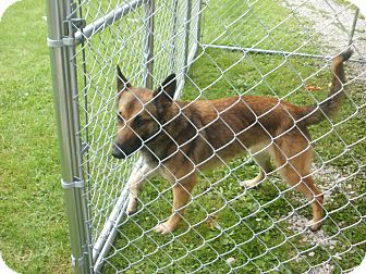 Belgian Malinois Dog for adoption in Quincy, Indiana - Dixie