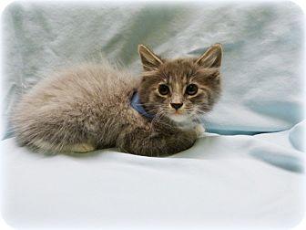 Domestic Longhair Kitten for adoption in Arlington/Ft Worth, Texas - Fluffy