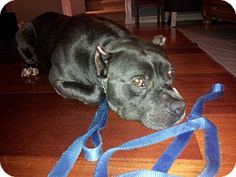 American Staffordshire Terrier/Pit Bull Terrier Mix Dog for adoption in San Diego, California - Hippo
