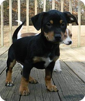 Dachshund/Terrier (Unknown Type, Small) Mix Puppy for adoption in Washington, D.C. - Rocco
